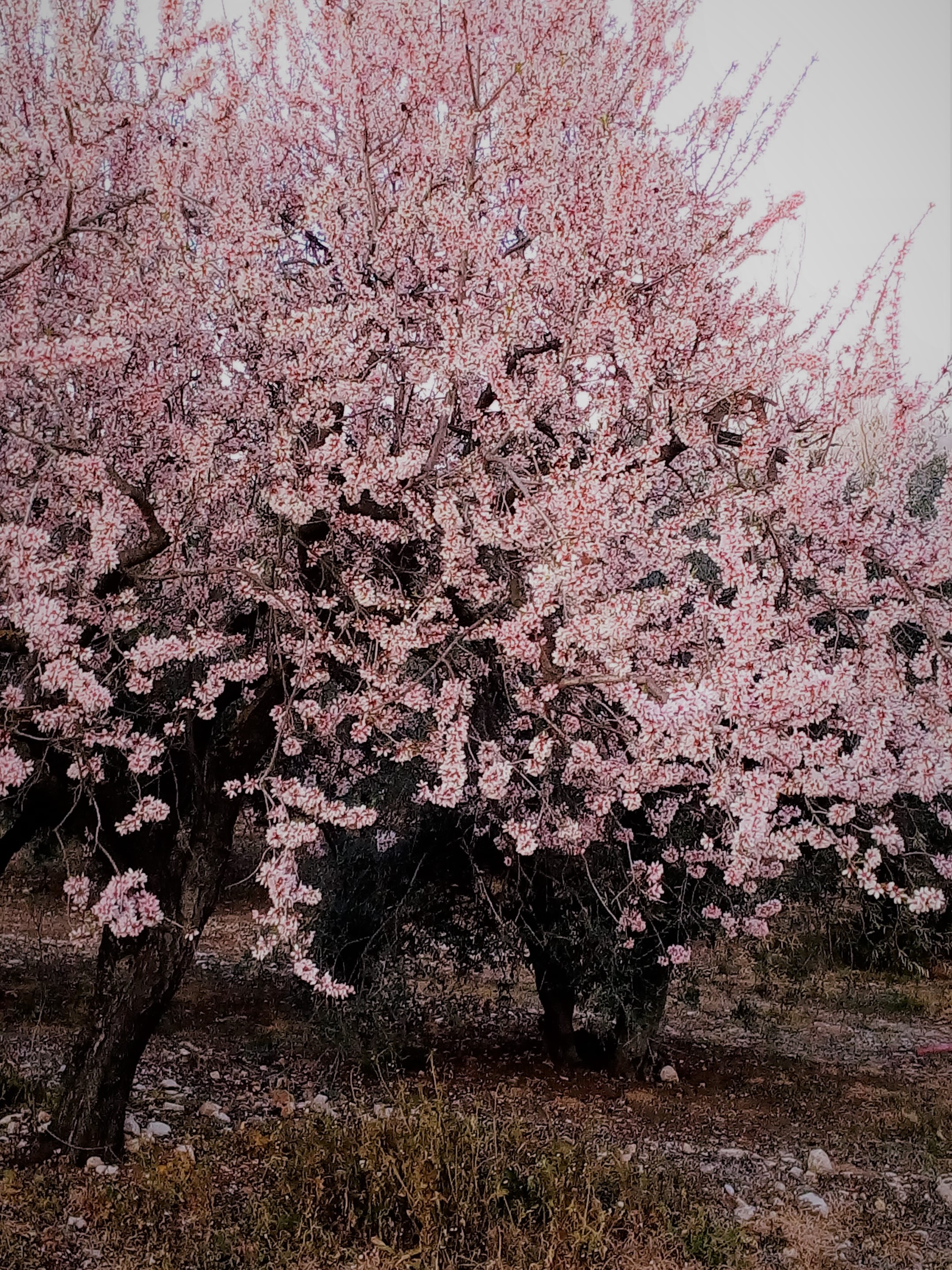 Mandelblüte für Angebot Apartment